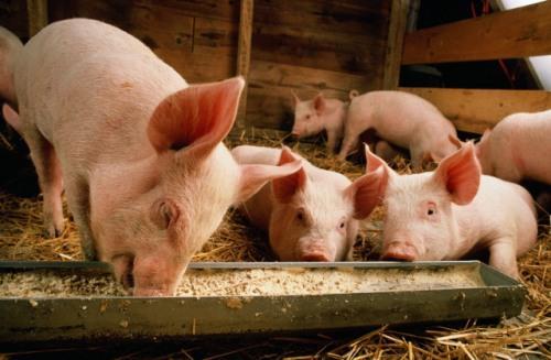 Как построить сарай для свиней?