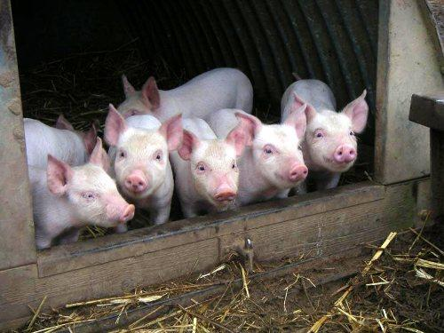 Как сделать сарай для свиней?
