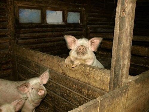 Сарай для свиньи своими руками