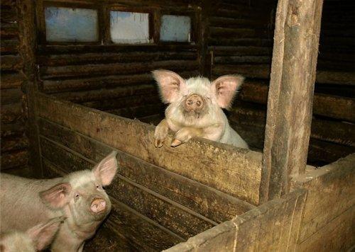 Свинарник в домашних условиях