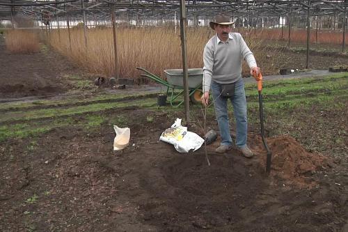 Как правильно посадить черешню?