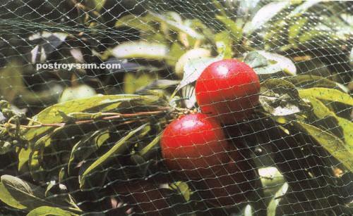 Как защитить урожай черешни от птиц?