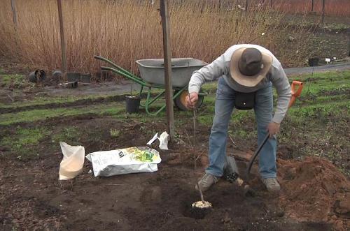 Как посадить черешню