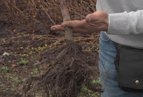 Как посадить яблоню? Советы эксперта