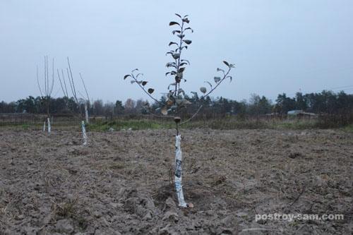 Как защитить кору деревьев от повреждения грызунами?