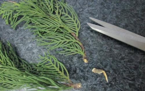 Подготовка еловых веточек