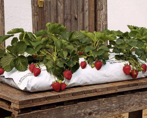 Технология выращивания клубники в полиэтиленовых мешках