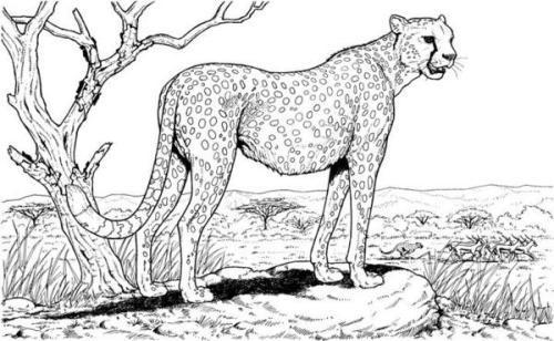 Рисунок гепарда
