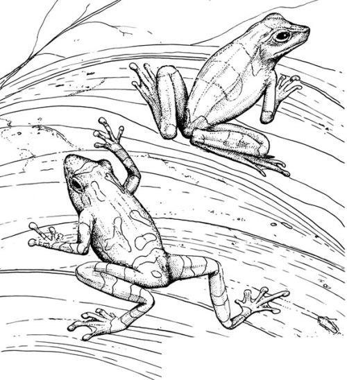 Рисунки жабок для выжигания по дереву