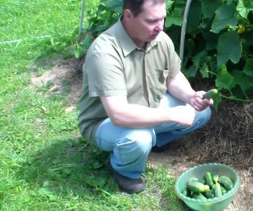 Выращивание огурцов в грунте